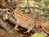 Another toad