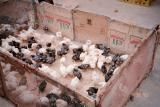 Market Day in Celendin -- chicks and pheasant chicks for sale