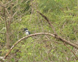 belted kingfisher 3706a.jpg