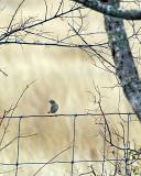 savannah sparrow 4536.jpg