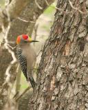 golden fronted woodpecker  _5328.jpg