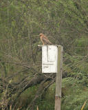redshouldered hawk _5503.jpg