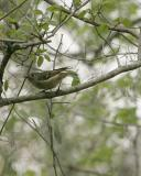 ruby crowned kinglet _5394.jpg