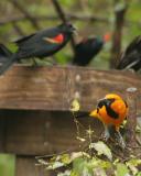 altamira oriole redwing blackbird _5101.jpg
