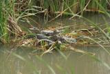 alligator babies 4810.jpg