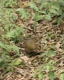 olive sparrow 3530a.jpg