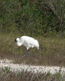 whooping crane 4214.jpg