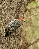 golden fronted woodpecker _5371.jpg