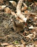 winter wren _5248.jpg