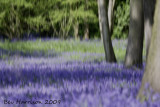 i found a forest of bluebells