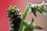 the chomper- mullein moth caterpillar