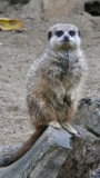 compare the meercat....