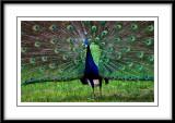 may 27 peacock