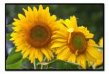 aug 23 sunflowers