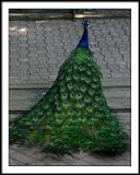 june 24 peacock