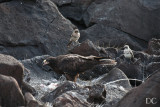 Galapagos hawk and mockingbirds