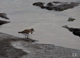 Ruddy turnstone, winter plumage