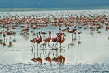 Flamingo dancers