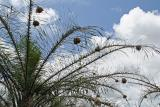 Weaver-bird nests, Cameroon