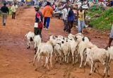 Taking sheep to market