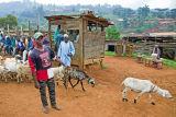 Like to buy some sheep?