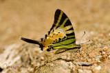 Pathysa antiphates itamputi (Five Bar Swordtail)