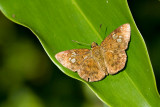 Pseudocoladenia dan dhyana