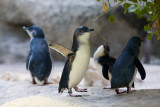 Perth Zoo Fairy Penguins