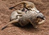 Perth Zoo Meerkats