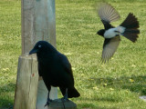 Big Crow V's Little Willie Wagtail... (wagtail won)