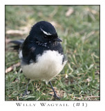FEARLESS. (Willy Wagtail #1)