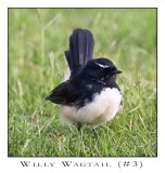 FEARLESS. (Willy Wagtail #3)