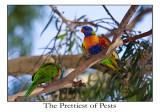 The Prettiest of Pests, Rainbow Lorikeets at UWA