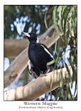 Western Magpie