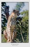 Cheetah, Perth Zoo