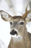 No Snow Day for Whitetails
