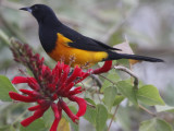 Black-vented Oriole Chase