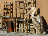 White Pelican - Rosse Pelikaan - Pelecanus onocrotalus