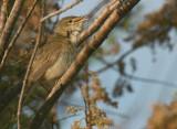 Olivaceous Warbler - Vale Spotvogel - Hippolais pallida
