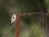 European Goldfinch - Putter - Carduelis carduelis