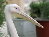 Rosse Pelikaan - White Pelican - Pelecanus onocrotalus