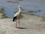 White Stork - Gewone Ooievaar - Ciconia ciconia