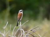 Grauwe Klauwier  -  Red backed Shrike - Lanius collurio