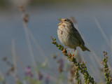Grauwe Gors - Corn Bunting - Miliaria calandra