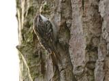Boomkruiper - Short-toed Tree-Creeper - Certhia brachydactyla