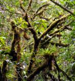 cloud forest epiphytes