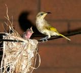 Brown Honeyeater at nest
