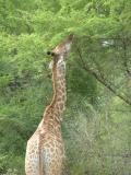 Giraffe eating Acacia.jpg
