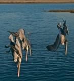 SoCal Pelicans 2008 -2010