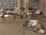 Live Reindeer at the L.A. Zoo